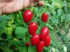 【超保存版】糖度14以上の甘くて美味しい「ミニトマト」の育て方を実況するよ!